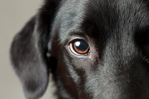 Closeup of Eye of Black Haired Dog