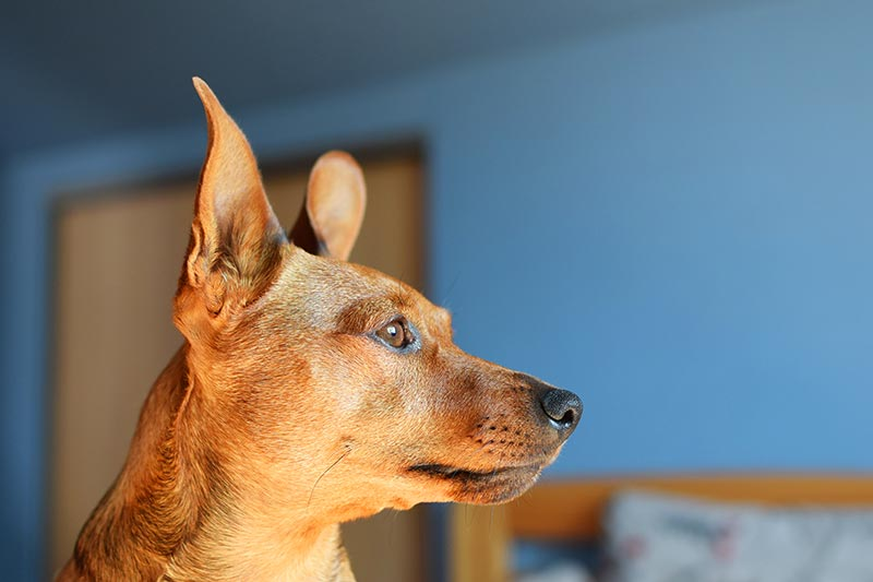 Clicker training dogs is a great dog behavior system
