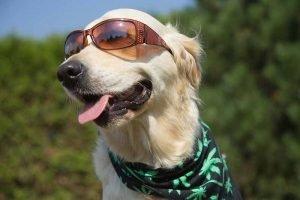Dog in Sunglasses with Bandana