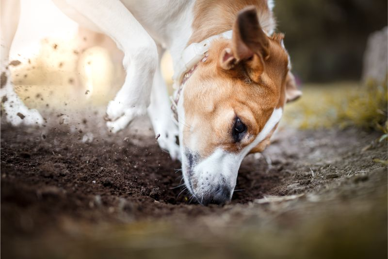 Dog Digging in Dirt