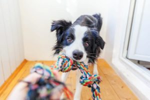 Dog holding rope toy